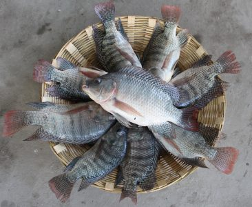 Tilapia Lover Society